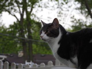 Penelope Cat for Adoption