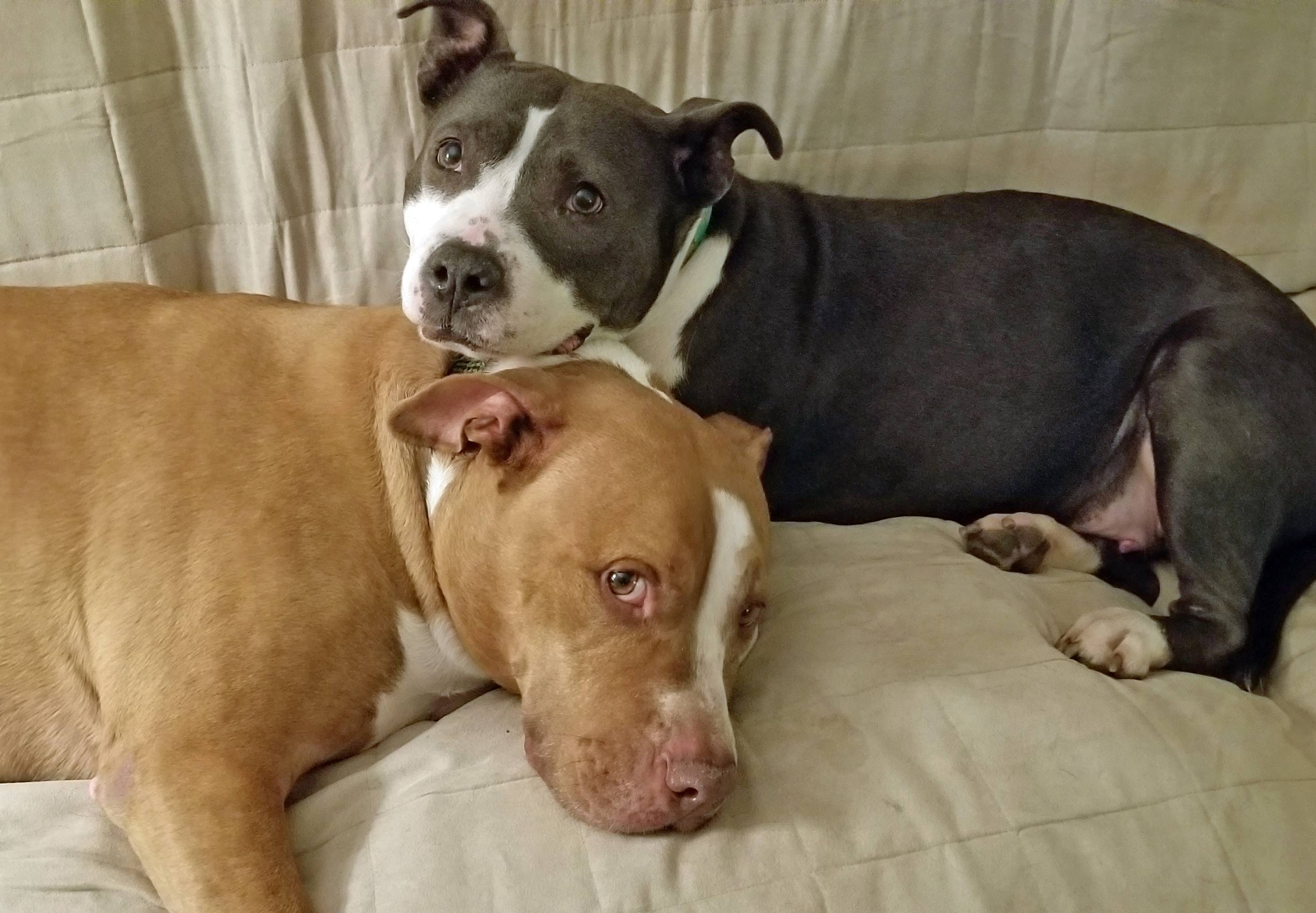 Coco Jellybean the Adoptable Pit Bull mix