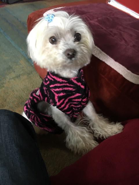 May the Maltese in her Zebra Striped Sweater