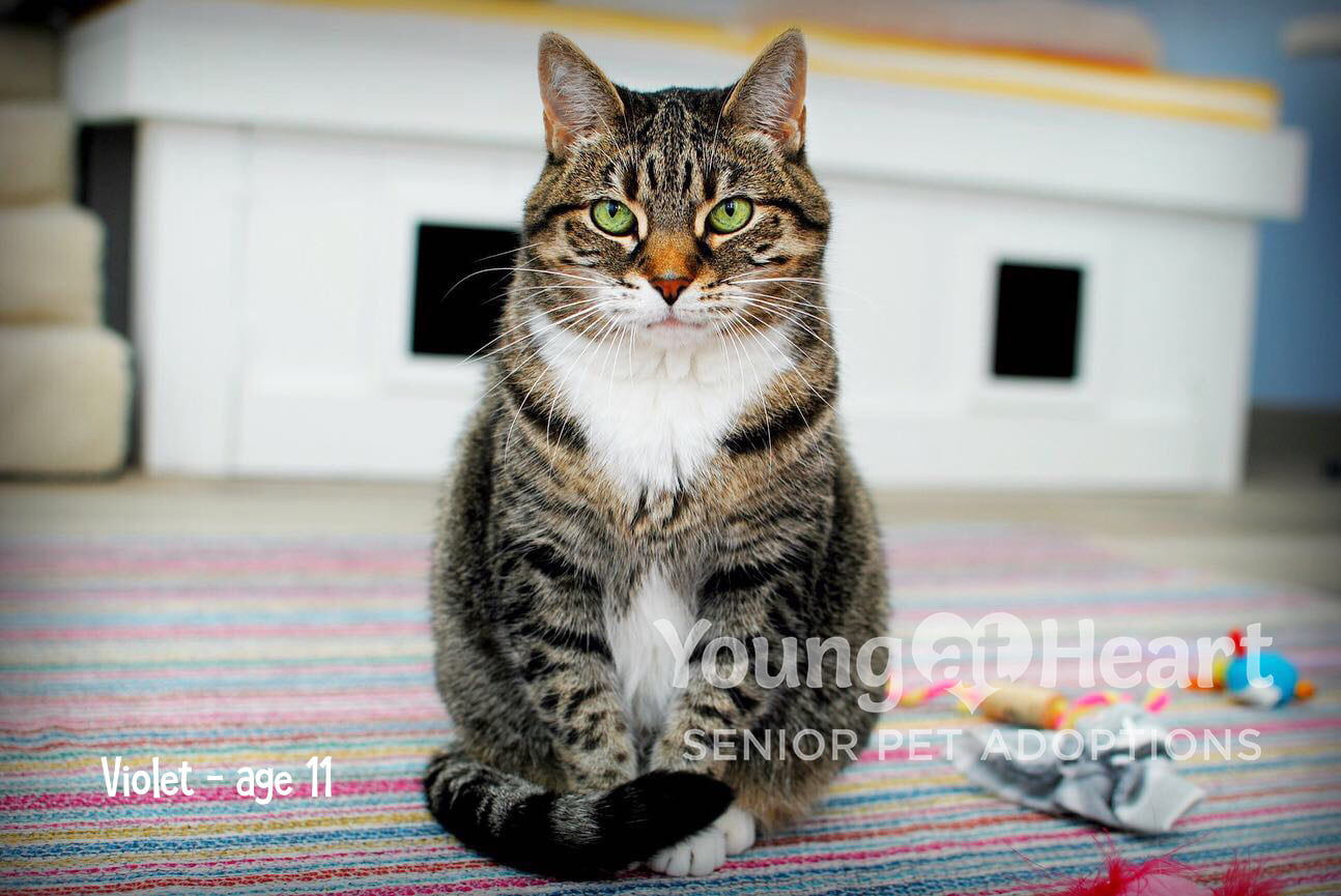 Violet Adoptable Tabby Cat