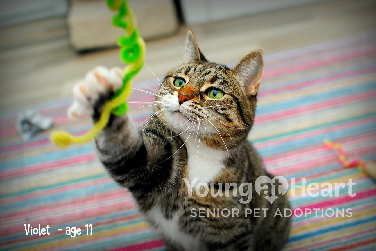 Violet Adoptable Tabby Cat Playing with String